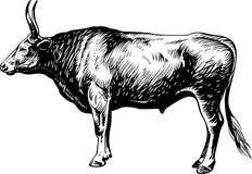 Bullock Stock Photography