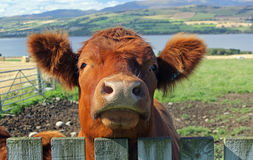 Bullock. Looking over a fence Royalty Free Stock Image