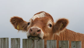 Bullock looking over fence. Close up of brown bullock looking over wooden fence Stock Images
