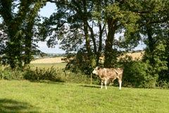 Bullock pasturing in Cornwall countryside near Looe Stock Photos