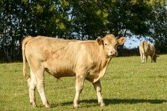 Bullock pasturing in Devon countryside near North Bovey Stock Photo