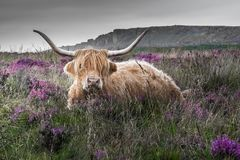 Bullock at Peak District National Park. A bullock among heather flowers, Peak District National Park, England Stock Image
