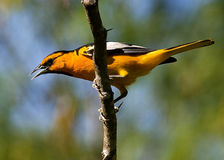 Bullock's Oriole. A mature male Bullocks Oriole.  Bullocks Orioles are found in the western half of the United States and in northern Mexico.  This Oriole is Royalty Free Stock Photo