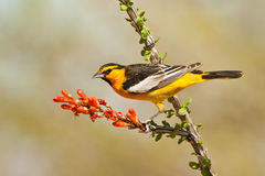 Bullock's Oriole. Male Bullock's Oriole Perched on Ocotilla Branch With Red Flower Stock Photo