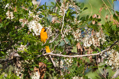 Bullock's Oriole, Icterus bullockii Royalty Free Stock Photo