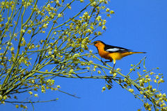 Bullock's Oriole, Icterus bullockii Stock Photo