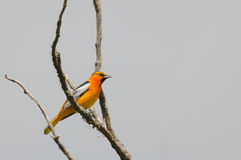 Bullock's Oriole Stock Photos