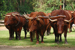 Bullock Team Stock Image