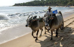 A bullock team move along the beach at Arugam Bay to collect baskets of fish. Stock Photos