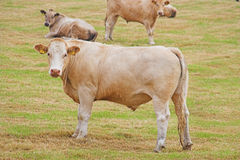 Bullocks Stock Photos