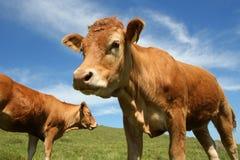 Bullocks. Two Jersey bullocks in a green field Stock Image