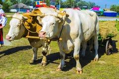Bullocks farm animal. Nature farmer Royalty Free Stock Photo
