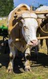 Bullocks farm animal. Rural agriculture farming Royalty Free Stock Photo