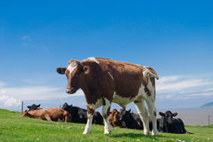Bullocks in a field. Stock Photos