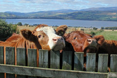 Bullocks Stock Photography