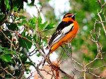 Bullocks Oriole Stock Photography