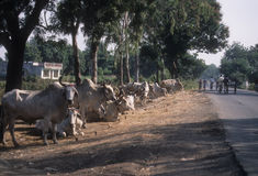 Bullocks wait by the side of the road Royalty Free Stock Image