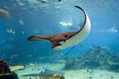 Bullray. Spotted Eagle-rays (Aetobatus narinari) swimming over coral reef Royalty Free Stock Photography
