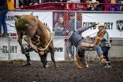 Bullrider se lève rapidement Photos libres de droits