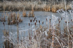 Bullrush. Frozen pond with bullrushes growing Stock Photography