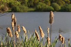 Bullrush covered in down Stock Photos