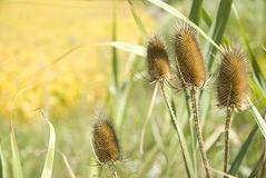 Bullrush in the Fall Stock Photos