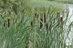 Bullrush Reed Plants stock afbeelding