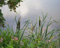 Bullrushes και λουλούδια Στοκ Εικόνες
