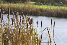 Bullrushes Royalty Free Stock Photos