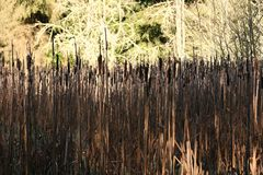 Bullrushes fotos de stock royalty free