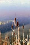Bullrushes bredvid den djupfrysta sjön, Irland fotografering för bildbyråer