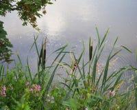 Bullrushes en Bloemen Stock Foto