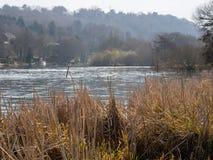 Bullrushes at rivers edge Royalty Free Stock Images