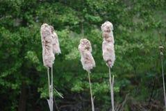 Bullrushes som på våren blåser bris 2 royaltyfri fotografi