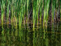 Bullrushes With Swirling Reflection Royalty Free Stock Photography