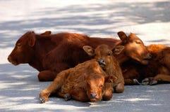 Bulls Stock Photography