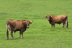 Bulls. In a green field Royalty Free Stock Photos