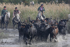 Bulls across the river Stock Photography