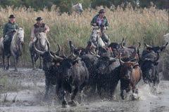 Bulls across the river Stock Photography