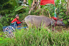 Bulls in action on traditional balinese water buffalo races royalty free stock photos