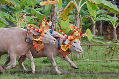 Bulls in action on traditional balinese water buffalo races Stock Photos