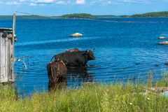 The bulls bathing in the lake. Stock Photography