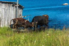 The bulls bathing in the lake. Royalty Free Stock Photography