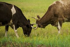 Two bulls fighting horns. Stock Images