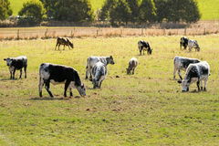 Bulls, calves in white streaked with black spot on skin grazing. Grass on green farmland field during Autumn in Tasmania, Australia Royalty Free Stock Images