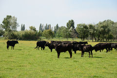 Bulls in Camargue Stock Photo