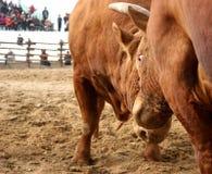 Bulls clashing horns Royalty Free Stock Photos