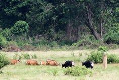 Bulls Stock Images