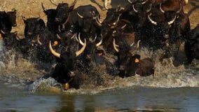 Camargue bulls, Bos taurus, Petite Camargue, Gard, France