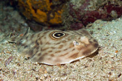 Bulls-eye Electric Ray. (aka Ocellated Electric Ray - Diplobatus ommata). Catalina Islands, Costa Rica Royalty Free Stock Photo